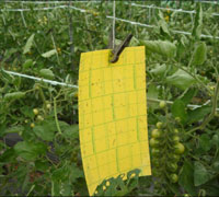 黄色は害虫が寄り付く色